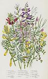 Flowering Plants of Great Britain: Spring Vetch, Common Vetch, Bush Vetch, Smooth-Podded Vetch, Rough-Podded Yellow …