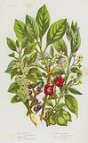 Flowering Plants of Great Britain: Common Bladder Nut, Spindle Tree, Common Buckthorn, Alder Buckthorn