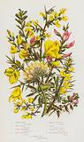 Flowering Plants of Great Britain: Common Furze, Dwarf Furze, Dyers Green-Weed, Hairy Green-Weed, Needle Green-Weed, …