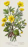 Flowering Plants of Great Britain: Lesser Celandine, Wood Crowfoot, Celery-Leaved Crowfoot, Bulbous Buttercup, …