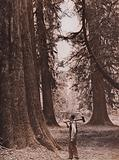 Douglas Fir trees, British Columbia, Canada