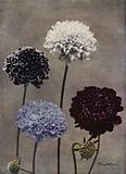 Sweet Scabious