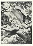 Flying squirrels (Sciuropterus volans)