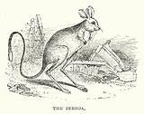 The jerboa