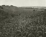 Jamaica: Banana Plantation