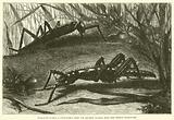 Eurycantha armata, a Stick-Insect from the Salomon Islands, Male and Female, natural size