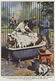 Jackie, un leone di sei anni del Giardino Zoologico di Los Angeles, fa un bagno tiepido …