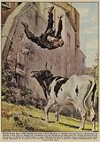 Salvato da una mucca