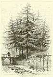 Trees and their Uses, The Larch