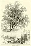 Trees and their Uses, The Ash