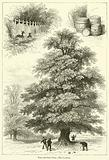 Trees and their Uses, The Chestnut