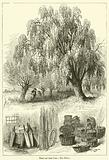 Trees and their Uses, The Willow