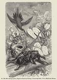 The Bird-eating Spider (Mygale avicularia) killing a Humming-bird