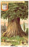 Mammoth Tree, California