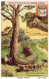 Giant pine tree resembling a snake, Bendestorh, Hannover, Germany