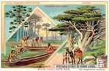 Brazilian pine and cedar of Lebanon