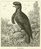 The Umbrella Bird