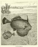 The Bristly Trigger-fish