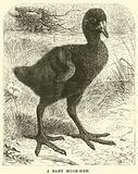 A Baby Moor-hen