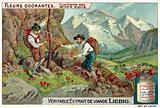 Picking alpine dianthus