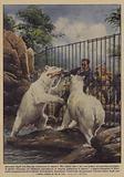 Straziato dagli orsi bianchi, attraverso le sbarre!