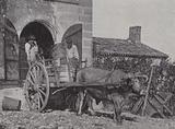 Transporting harvested grapes by ox cart