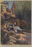 A colonial administrator attacked by a tiger