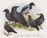 The Rook, The Raven, The Jackdaw, The Hooded Crow, The Carrion Crow, The Chough