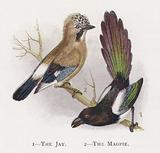 The Jay, The Magpie
