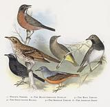 White's Thrush, The Black-throated Ouzelze, The Rock Thrush, The Gold-vented Bulbul, The Siberian Thrush, The American …