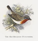 The Red-Breasted Flycatcher