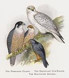 The Peregrine Falcon, The Greenland Gyr-Falcon, The Red-footed Kestrel