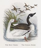 The Snow Goose, The Canada Goose