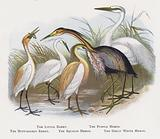 The Little Egret, The Purple Heron, The Buff-backed Egret, The Squacco Heron, The Great White Heron