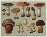 Poisonous Fungi