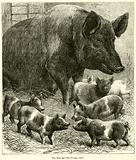 The Sow and her Young-ones