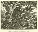 Le galeopitheque, lemurien de la periode eocene