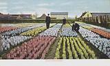 Fields of hyacinths, Netherlands