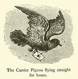 The Carrier Pigeon flying straight for home