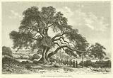 Le Chene d'Abraham, Quercus Palestinae, pres d'Hebron
