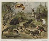 Australasian fauna