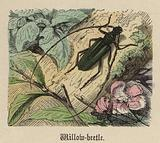 Willow-beetle