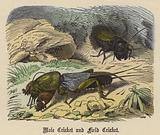 Mole Cricket and Field Cricket