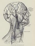 Veins of the head and neck