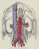 The abdominal aorta and its branches
