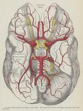 The arteries of the base of the brain