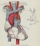 The arch of the aorta and its branches