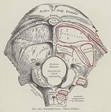 Occipital bone, outer surface