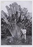 Travellers palm, Republic of Panama