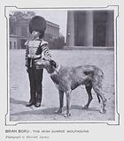 Brian Boru, the Irish Guards' Wolfhound